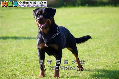 广西家养罗威纳可爱大骨量犬全国发货