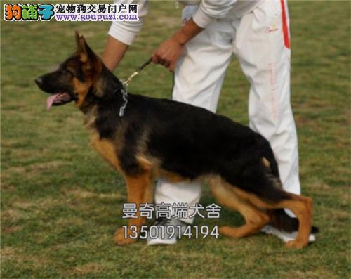 广东德牧漂亮黑背幼犬待售全国发货