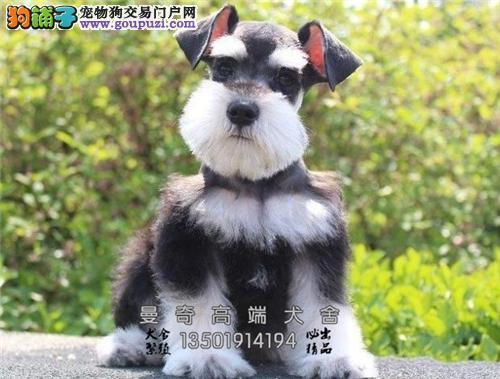 广东家养雪纳瑞纯种漂亮保健康全国发货