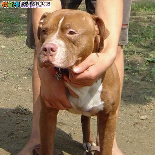 天津出售凶猛比特犬纯种健康三年售后合同