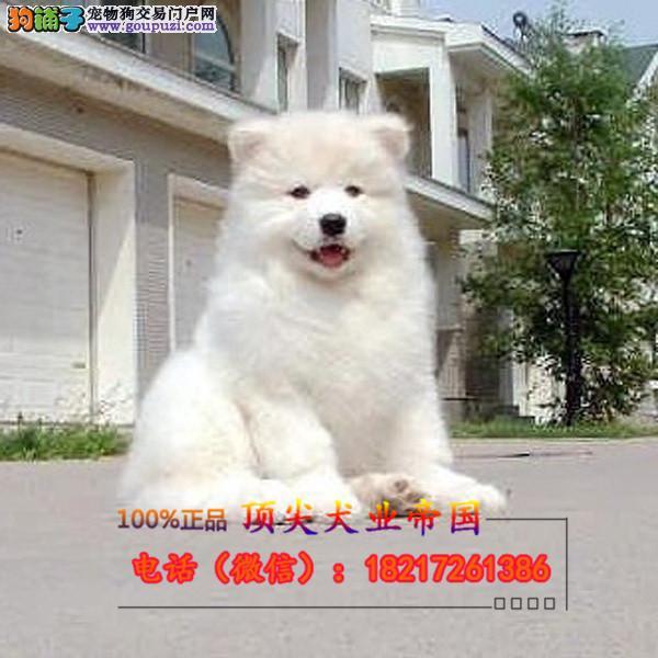 正规狗场 犬舍直销 纯种萨摩耶 真实照片包纯