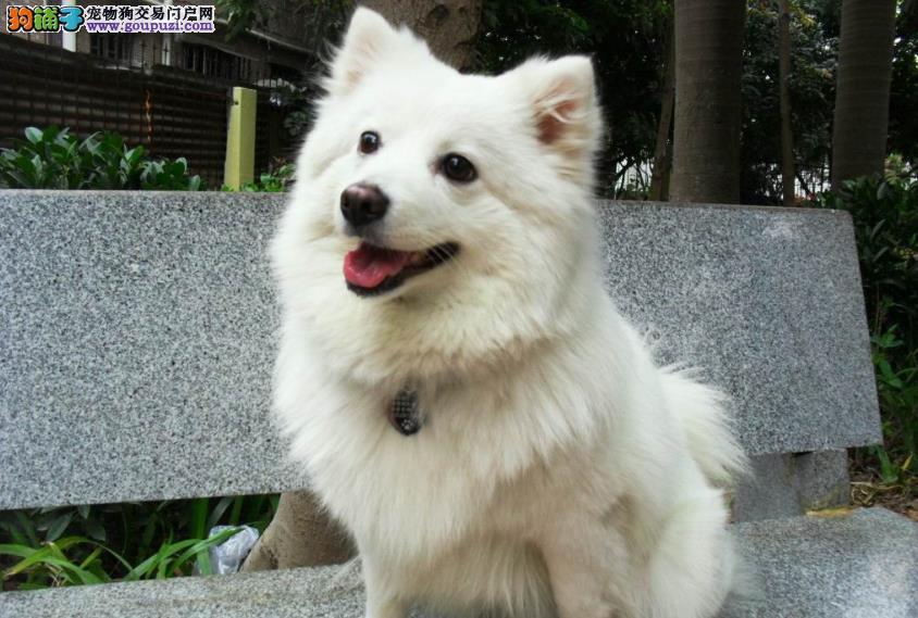 小银狐犬价格 选购银狐犬的方法