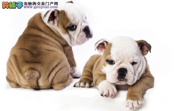 沙皮狗的起源 沙皮犬的性格特点