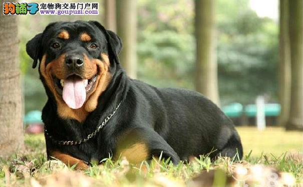 罗威纳犬好养吗 罗威纳犬饲养管理