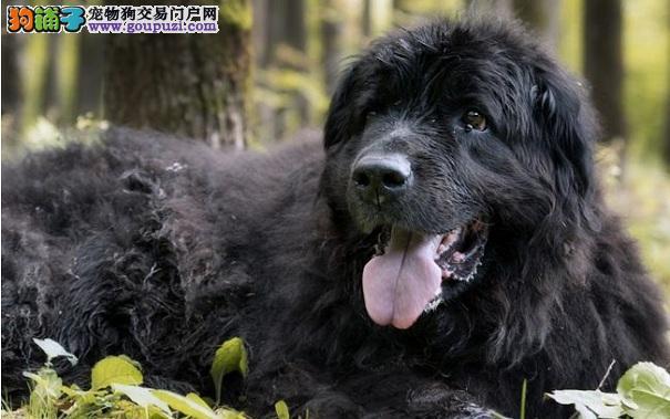 纽芬兰犬适合看家吗 纽芬兰犬对人十分友善