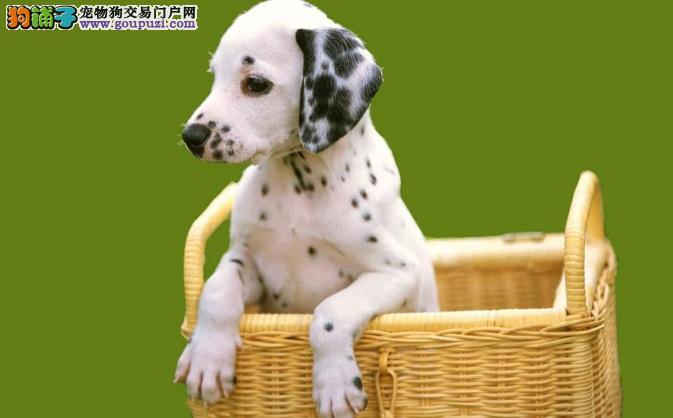 买斑点狗要先检查是否健康