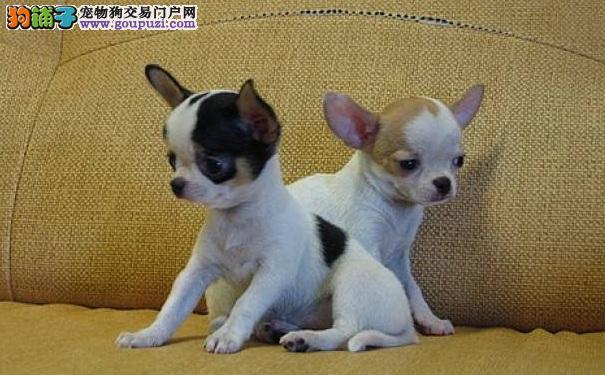 吉娃娃爱不爱叫 养小型犬吉娃娃犬吵不吵