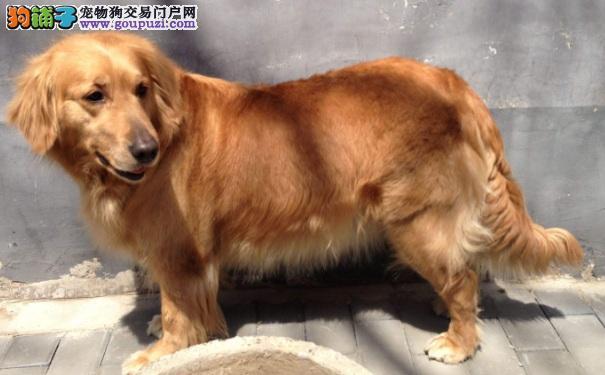 金毛寻回犬价格 适合做家庭伴侣犬的金毛