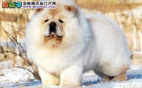 松狮犬的寿命有多长 松狮能活多久