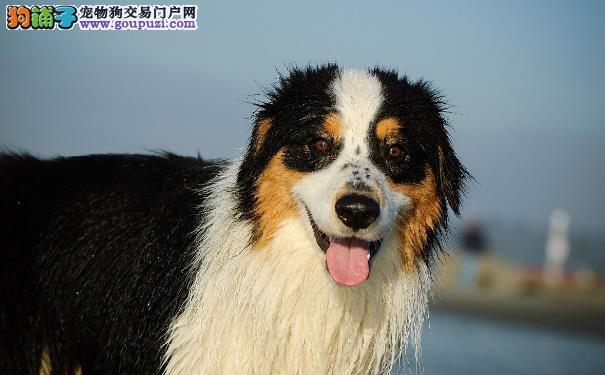 伯恩山犬的性格 伯恩山犬是性格温柔的大暖男