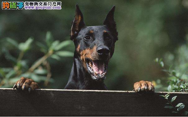 训练德国杜宾犬的方法 训练杜宾犬需注意