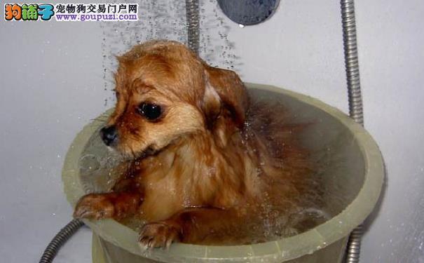 如何在家给博美犬洗澡 博美犬洗澡的注意事项