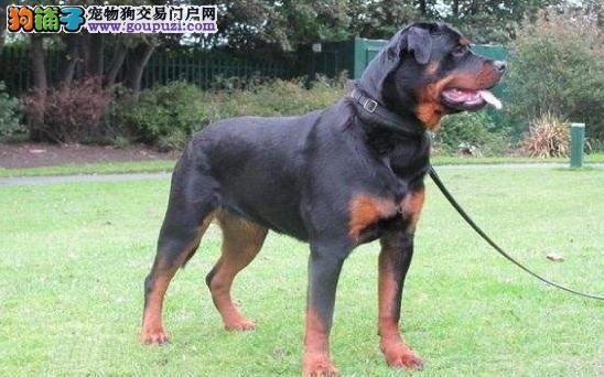罗威纳犬如何训练 掌握方法更容易训练5