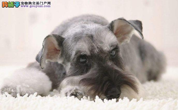 雪纳瑞幼犬一直睡觉正常吗 小雪为什么嗜睡