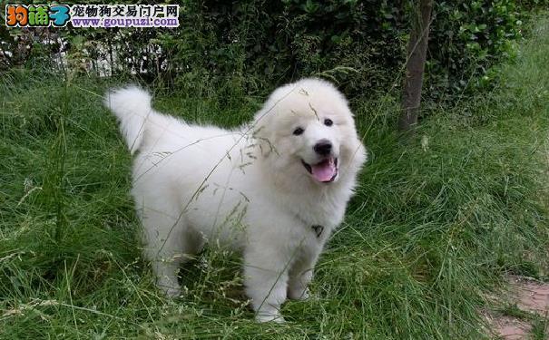 饲养大白熊犬幼犬的方法养比利牛斯山地犬的注意事项