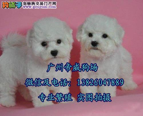 中山哪里有卖比熊犬,白色卷毛比熊犬怎么挑选比较好