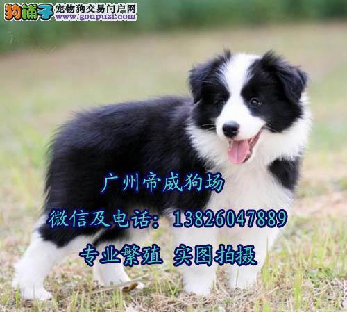 中山哪里有卖边境牧羊犬,哪种是世界上最聪明的小狗