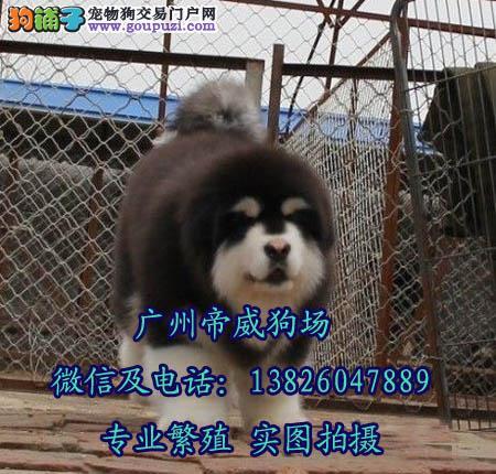 中山阿拉斯加雪橇犬在哪里买纯种巨型阿拉斯加价格多少