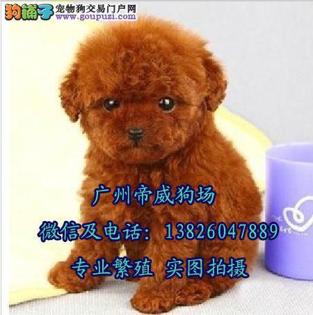 中山什么地方有卖泰迪狗泰迪价格 中山哪里有狗场