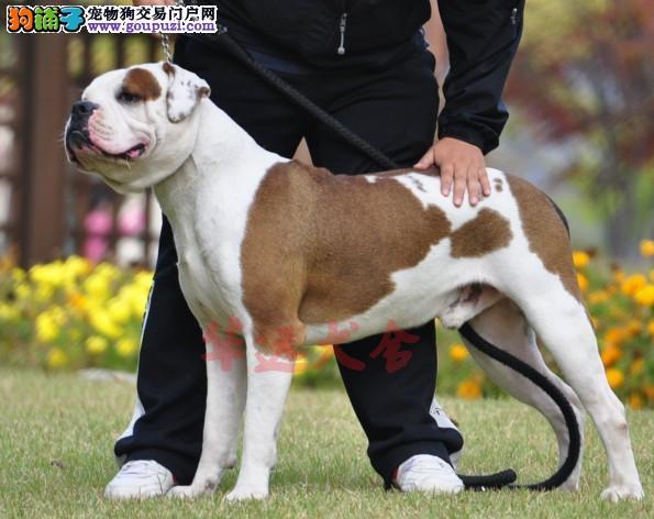 最大美斗犬繁殖基地、品质保障、可全国托运