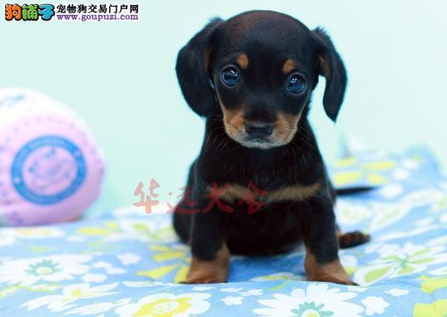 北京最大腊肠犬繁殖基地、品质保障、可全国托运3