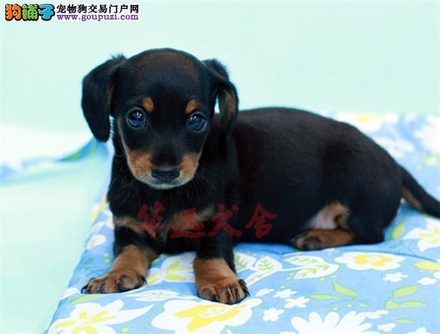 北京最大腊肠犬繁殖基地、品质保障、可全国托运1