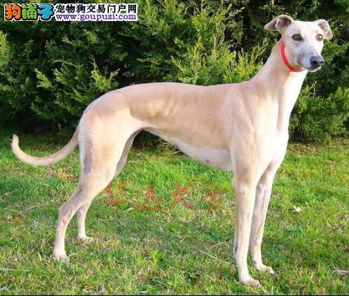 北京最大格力犬繁殖基地、品质保障、可全国托运