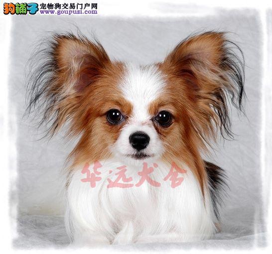 顶级蝴蝶幼犬 保纯种保健康 CKU认证犬舍