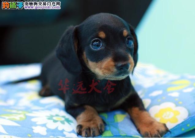 顶级腊肠犬 保纯种健康 CKU认证犬舍