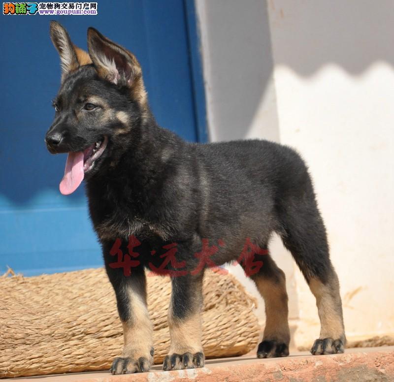 权威机构认证犬舍、专业犬繁殖 完美售后