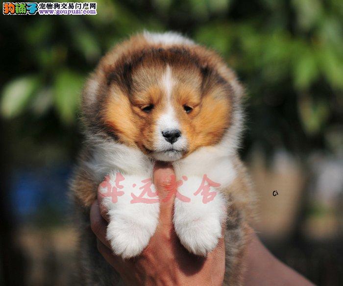 顶级喜乐蒂幼犬 保纯种健康 CKU认证犬舍