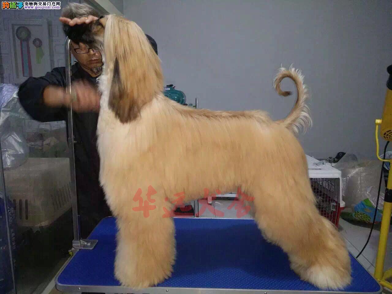 顶级阿富汗猎犬 保纯种健康 CKU认证犬舍