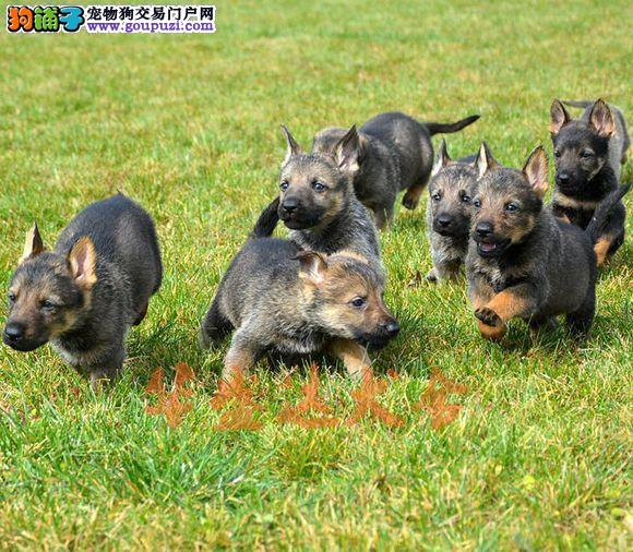 顶级昆明犬幼犬 保纯种健康 CKU认证犬舍