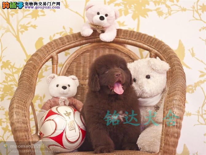 权威机构认证犬舍、专业纽芬兰犬繁殖 完美售后