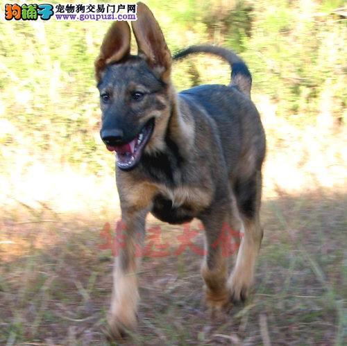 权威机构认证犬舍、专业昆明犬繁殖 完美售后2