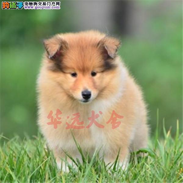 权威机构认证犬舍、专业喜乐蒂犬繁殖 完美售后