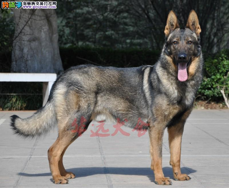 权威机构认证犬舍、专业昆明犬繁殖 完美售后3
