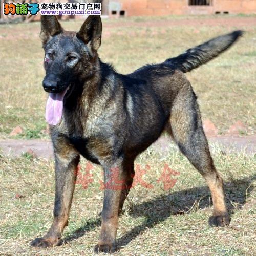 权威机构认证犬舍、专业昆明犬繁殖 完美售后1