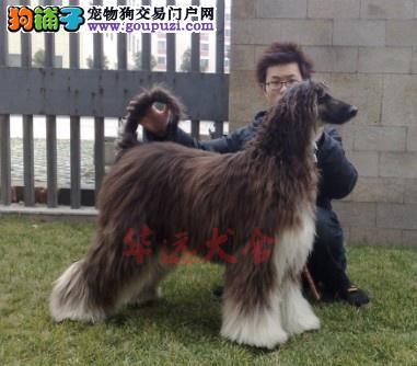 权威机构认证犬舍、专业阿富汗犬繁殖 完美售后