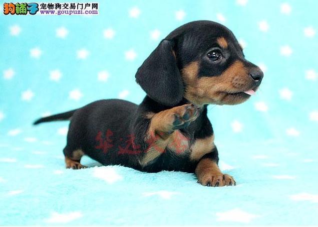 权威机构认证犬舍、专业腊肠犬繁殖 完美售后