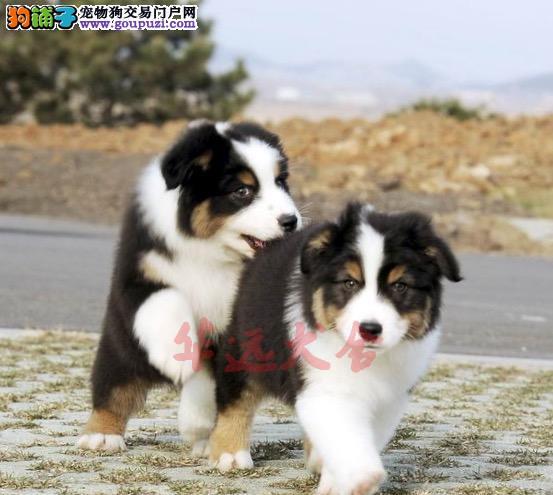 权威机构认证犬舍、专业苏格兰牧羊犬繁殖 完美售后