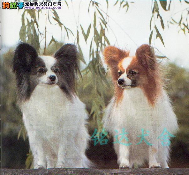 呼和浩特最大蝴蝶犬繁殖基地、品质保障、可全国托运