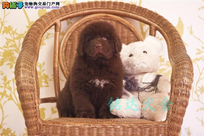北京最大纽芬兰犬繁殖基地、品质保障、可全国托运