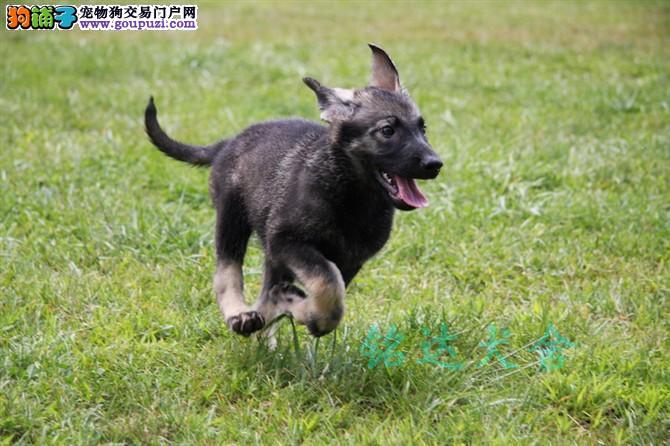 北京最大昆明犬繁殖基地、品质保障、可全国托运1