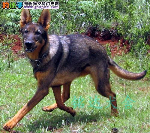 北京最大昆明犬繁殖基地、品质保障、可全国托运3