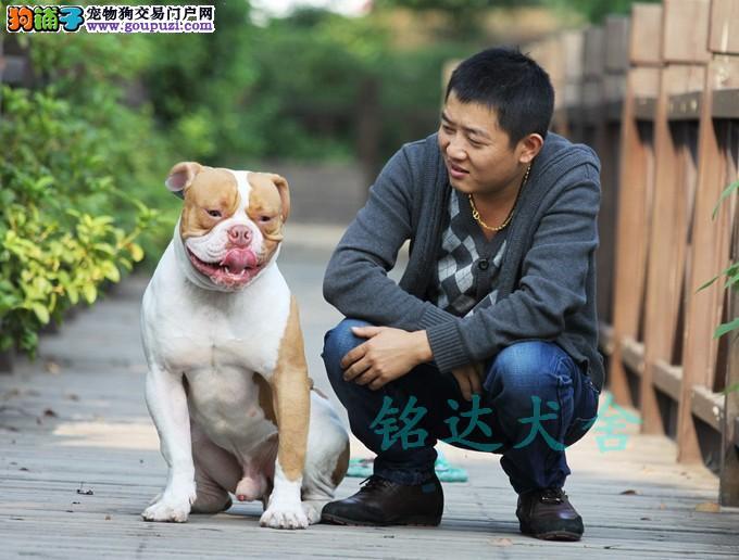 北京最大美国斗牛犬繁殖基地、品质保障、可全国托运
