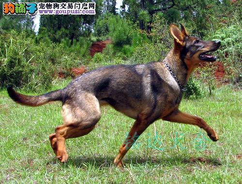 北京最大昆明犬繁殖基地、品质保障、可全国托运4