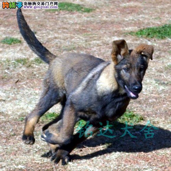 北京最大昆明犬繁殖基地、品质保障、可全国托运2