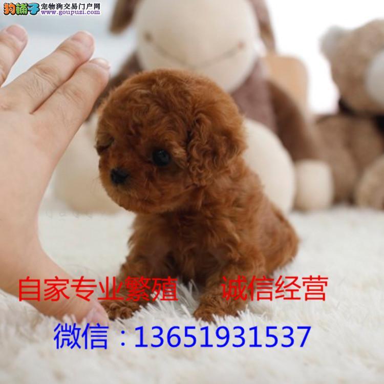 茶杯犬幼犬包纯种健康自家繁殖包3月