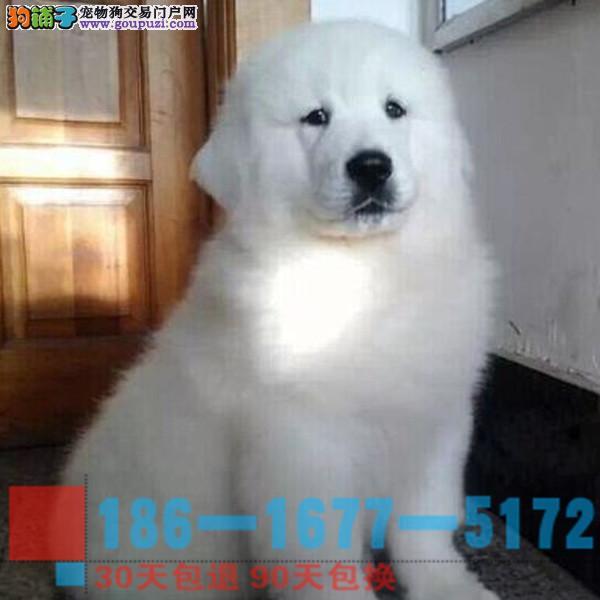 雪兽系赛级大白熊幼犬 骨骼大 毛质好2